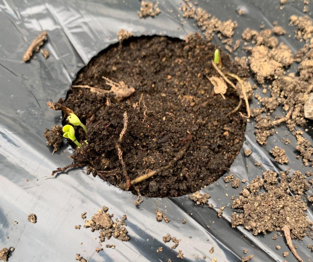 小松菜の発芽のようす