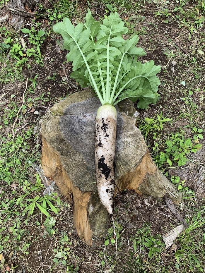 家庭菜園の春大根